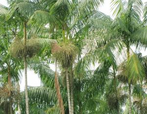 Acai trees in the Amazon