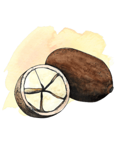 cupuacu illustration